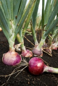 Onion bulbs ready for harvest