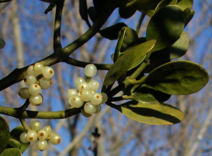 Does Mistletoe Harm Trees North Carolina Cooperative