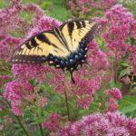 Tiger swallowtail nectaring on Joe Pye Weed.
