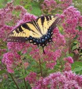 Butterfly on joe-pye weed