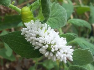 Hornworm covered in wasp coccoons.