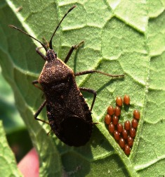 squash bug with eggs