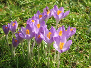 Recommended fall planted spring flowering bulbs north carolina bulbs that naturalize are perennials that return and multiply year after year making them a good investment of your planting time and landscape budget mightylinksfo