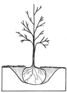 tree planting diagram