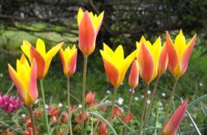 Lady tulip flowers