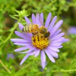 bee collecting pollen on a flower