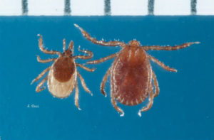 Cover photo for Longhorned Tick Found in Polk County