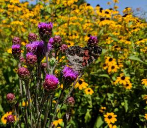 American lady butterfly on blazing star (Liatris ligulistylus).