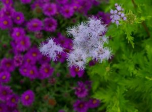 Palmleaf thoroughwort backed by New York aster 'Purple Dome'.