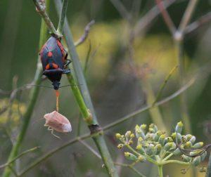 Florida predatory stink bug feeding on a brown stink bug.