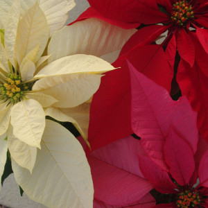 Cover photo for Plants of the Holiday Season