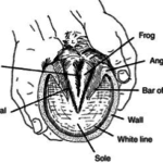 Illustration of a horse hoof