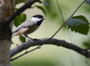 Carolina Cickadee Bird