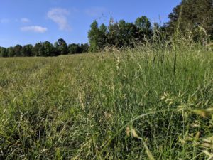 Cover photo for Forage Management Strategies to Reduce Fescue Toxicity