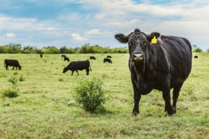 Cover photo for Cattle College: Herd Health, Fly Control, and Pasture Management