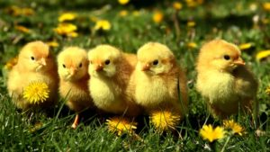 Five cute yellow chicks standing beside one another in the grass