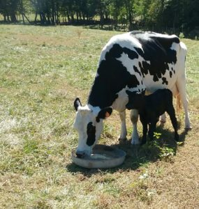 Cover photo for Safe Milk Handling and Husbandry of the Backyard Dairy Cow Webinar