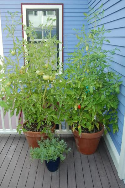 Tomatoes growing in containers on a back patio
