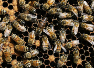 Cover photo for Beekeeping Webinars From the NC State Apiculture Program