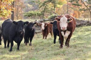 Cover photo for Pest Control for Livestock Webinar